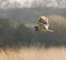 Short-eared Owl by Nigel Tinlin