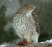 Sharp Shinned Hawk at Lunch by Bryan Shane