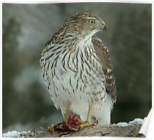 Sharp Shinned Hawk at Lunch Poster