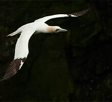 Northern Gannet in Flight by Bryan Shane