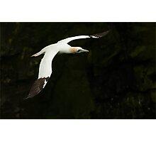 Northern Gannet in Flight Photographic Print