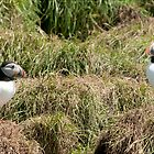 Atlantic Puffins in Conversation by Bryan Shane
