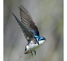 Tree Swallow in Flight Photographic Print