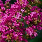 From Home - Crepe Myrtle, Indian Summer by WarwickG