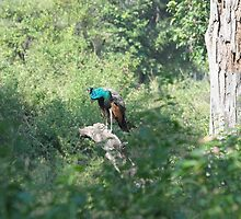 The Peacock -Ranthambore India by vawtjwphoto