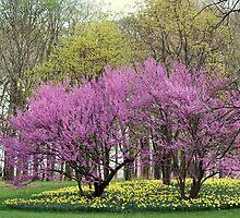 Spring Redbuds by Rosanne Jordan