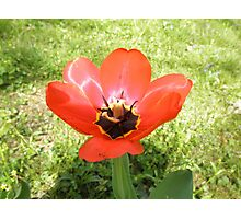 Red Tulip Flower Photographic Print