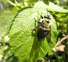 Bumble bee On Rasberry Leaf by ack1128