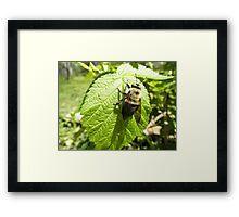 Bumble bee On Rasberry Leaf Framed Print
