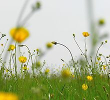 Dancing Buttercups by carolhynes
