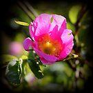 Wild Rose by karolina