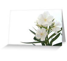 White Oleander Flowers Close Up Isolated On White Background  Greeting Card