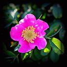 Wild Rose 2 by karolina