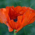 King size wild poppy by Nicole W.