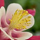 Columbine close-up by Celeste Mookherjee