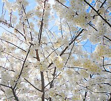 Looking Up at Cherry Blossoms 4 by Christa Laser