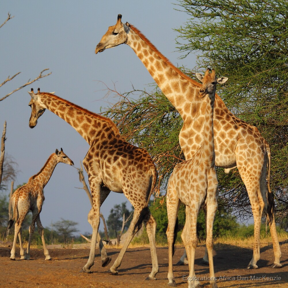 Elegant giants by Explorations Africa Dan MacKenzie