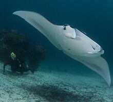Manta and Diver by Todd Krebs