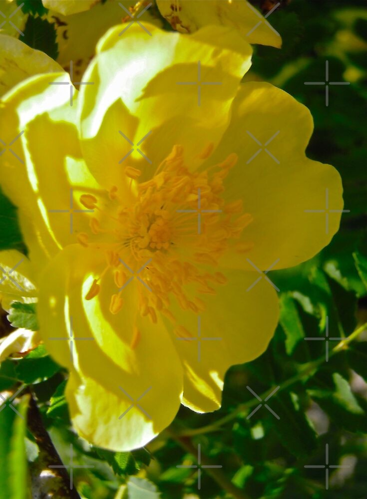 Governor General's Rose 9 by Shulie1