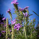 Wild Verbena by LauraBroussard