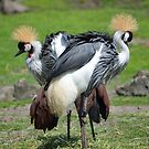 symphony of crowned cranes by Nicole W.