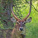 Waterbuck by Explorations Africa Dan MacKenzie