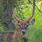 Waterbuck by Explorations Africa Dan MacKenzie