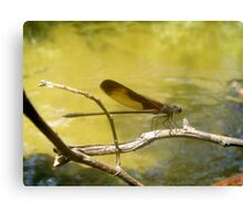 AMERICAN RUBYSPOT on Econfina Creek Canvas Print