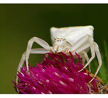 crab spider Photographic Print