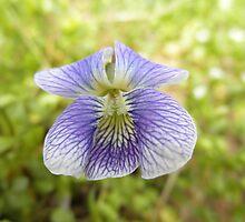 Vilot Flower by ack1128