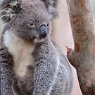 Koala by Kathy Silcock