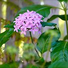 Pentas flowers through  the picket fence . by Margaret Stanton
