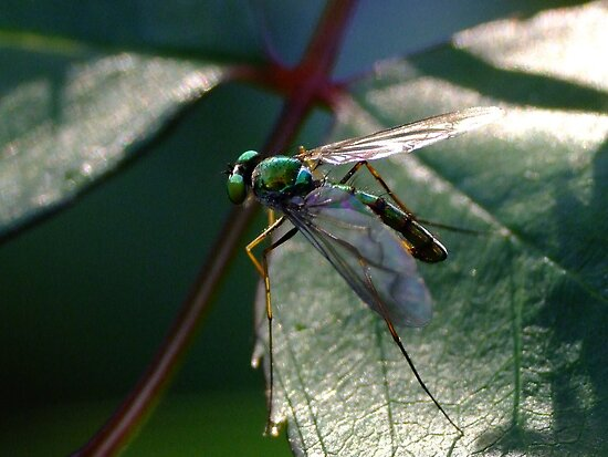 A Fly Of Such - Chrysosoma leucopogon by Gabrielle  Lees