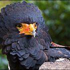 Bateleur Eagle by alan tunnicliffe
