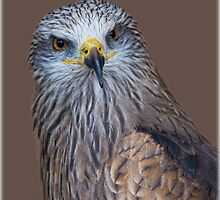 Black Kite by alan tunnicliffe