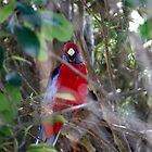 Rosella, Wild by warmonger62