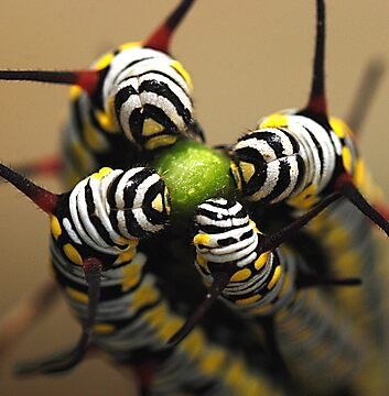 Caterpillars by Amran Noordin