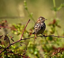 Young Sky Lark enjoying a rest in the sunshine by Violaman