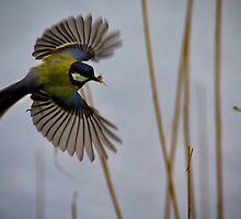 Great Tit with spider in beak by Violaman