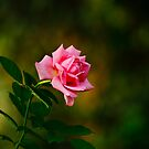 A rose for you! by Janice Carter