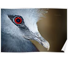 Victoria Crowned Pigeon Close Up Poster