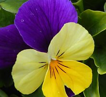 YELLOW & BLUE PANSY by chloekat