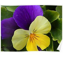 YELLOW & BLUE PANSY Poster