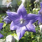 Balloon Flower  by ack1128