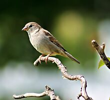 House Sparrow by Angie O'Connor