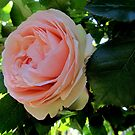 Full pink rose in the garden by bubblehex08