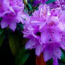 Rhododendron Bloom by globeboater