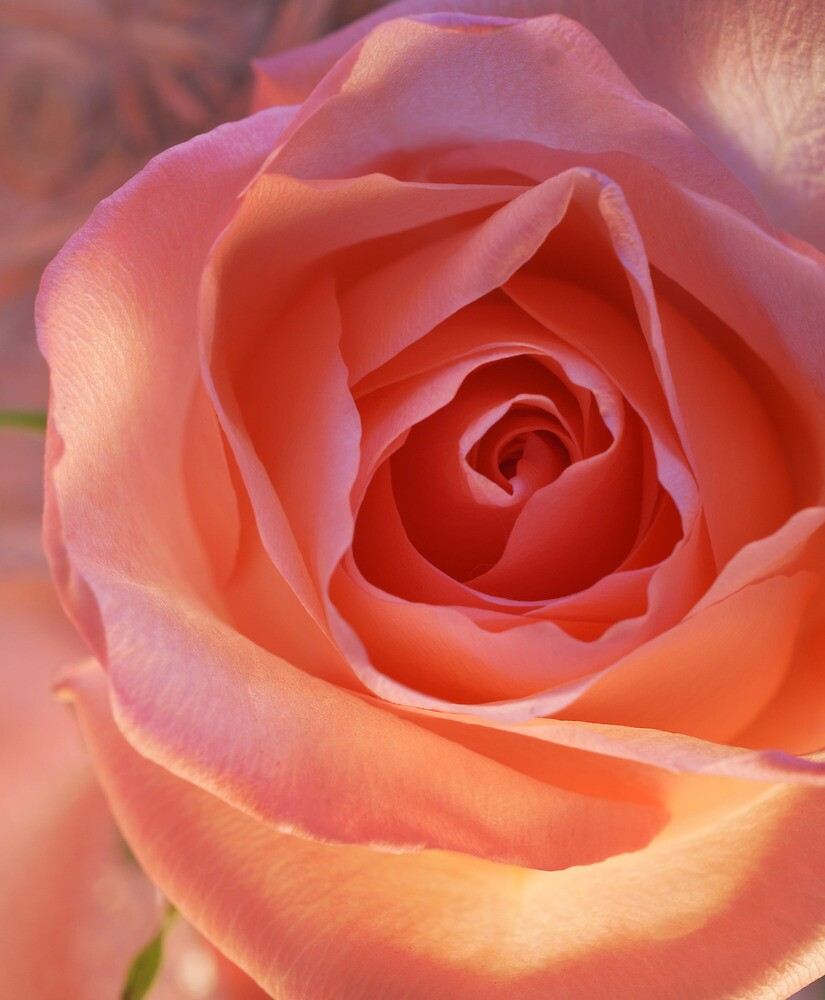 *** CHEERFUL PINK ROSE *** by JETAdamson
