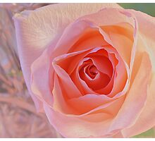 ***  JOYFUL DELIGHT ~ PINK ROSE  *** Photographic Print
