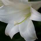 *** PURITY OF HEART ~ EASTER LILY *** by JETAdamson